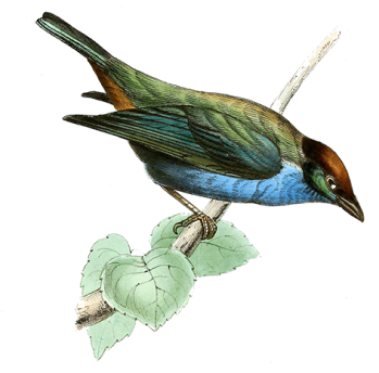 juno Pellucid Bird web