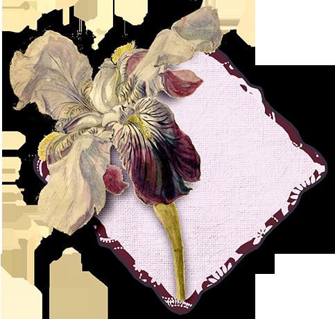 juno Rubescent Iris Cluster web