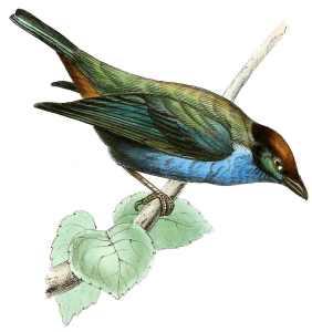 juno-pellucid-blue-bird
